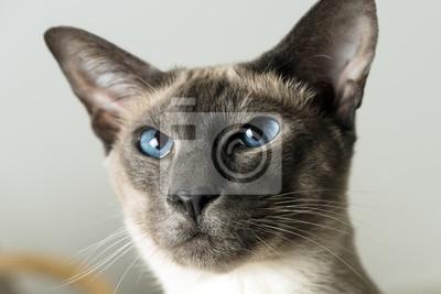 Kot Chłopiec Z Niebieskimi Oczami Z Bliska Rasa Kotów Syjamskich