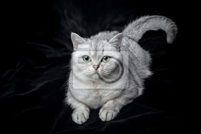 Kot Leży Na Czarnym Aksamicie Brytyjski Krótkowłosy Pedigreed
