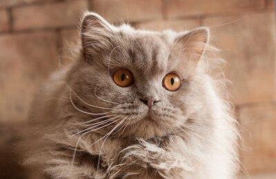 Kot Liliowy Brytyjski Długowłosy Fototapeta Fototapety Pled