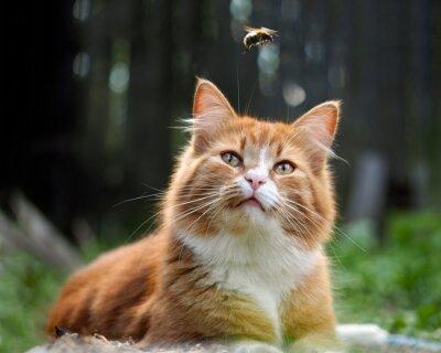 Fototapeta Kot patrzy na lot trzmiela. Kot duży, czerwony i puszyste. Koncepcyjnie - zwierzęta rekreacji na świeżym powietrzu. Kot poluje na owady. Ukąszenia owadów i alergie u zwierząt