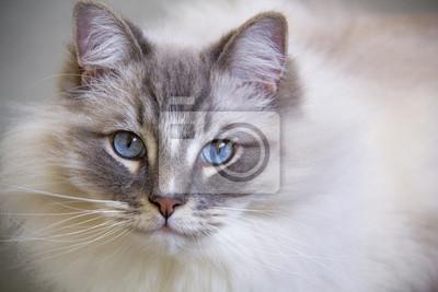 Kot Ragdoll Z Niebieskimi Oczami Bliska Fototapeta Fototapety