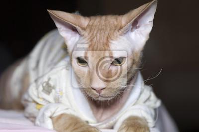 Kot Rasy Kanadyjski Sfinks W Koszulce Fototapeta Fototapety