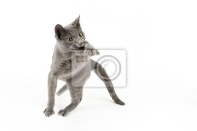 Kot Rosyjski Niebieski 14981 Fototapeta Fototapety Kot Domowy