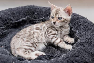 Koty Bengalskie Fototapeta Fototapety Wygrażać Rozeta Paszowy