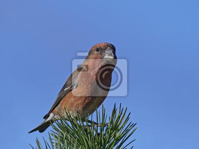 Fototapeta Krzyżówka Papuga Loxia Pytyopsittacus