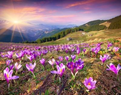 Fototapeta Kwiat krokusy na wiosnę w górach. Kolorowe słońca.