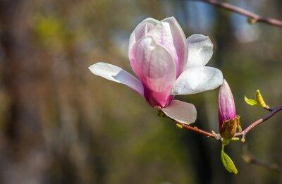 Fototapeta kwiat magnolii.