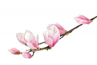 Fototapeta Kwiat magnolii oddział samodzielnie na białym tle
