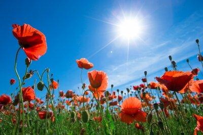 Fototapeta Kwiat maku