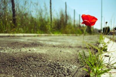Fototapeta kwiat maku w betonie: moc koncepcja życia