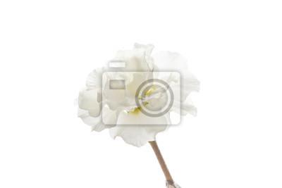 Fototapeta kwiat wiosny