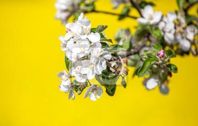 Kwiat wiśni i pola rzepaku