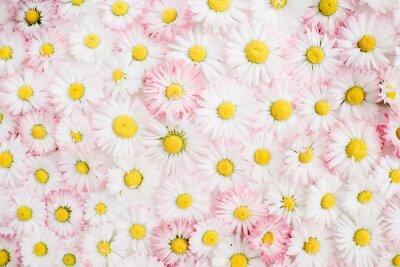 Fototapeta Kwiatowy wzór białego i różowego rumianku daisy kwiaty. Płaski, górny widok. Floral tła. Wzór pąków kwiatowych.