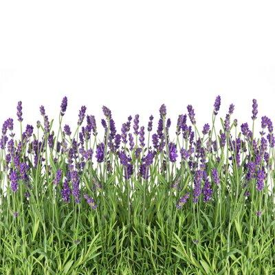 Fototapeta kwiaty lawendy samodzielnie na białym tle
