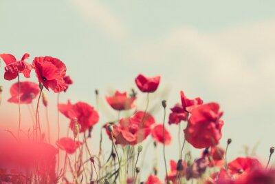 Fototapeta Kwiaty maku latem w tle retro spokojny