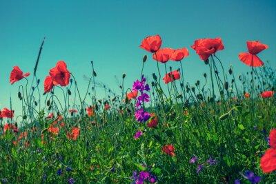 Fototapeta Kwiaty maku na tle nieba