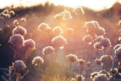 Fototapeta kwiaty na łące o zachodzie słońca