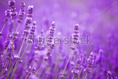 Fototapeta Kwiaty w polach lawendy w górach Prowansji.