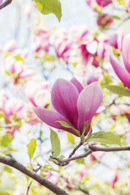 Fototapeta Kwitnąca różowe kwiaty magnolii w okresie wiosennym