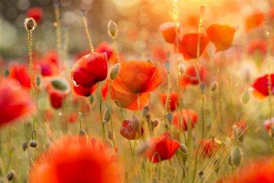 Fototapeta Kwitnące pola maku w świetle wieczorem z bokeh
