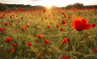 Fototapeta Kwitnące pola maku w wieczornym świetle