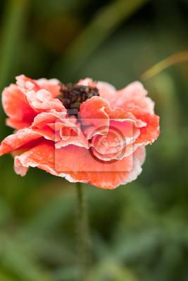 Fototapeta kwitnący czerwony kwiat maku