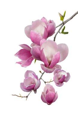 Fototapeta Kwitnienie oddział magnolii