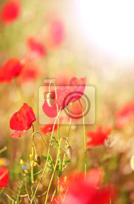 Fototapeta Łąka z pięknych jasnych czerwone kwiaty maku na wiosnę