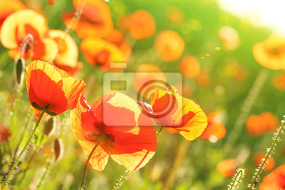 Fototapeta Łąka z pięknych jasnych czerwonych maków na wiosnę