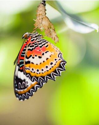 Fototapeta Lampart lacewing motyl wyjdzie z poczwarki