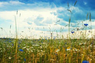 Fototapeta Latem krajobraz z pola, b ?? kitne niebo i bia? E chmury. Kwiaty camomiles na łące. Dzikie kwiaty
