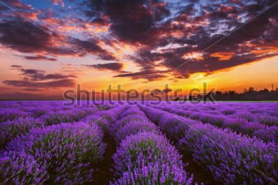 Fototapeta Lavender flower blooming fields in endless rows. Sunset shot.