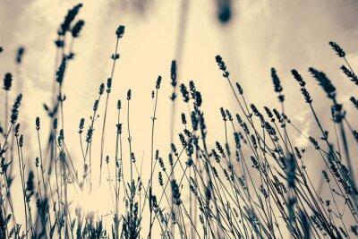 Fototapeta Lavender lub lavandula przeciwko słońca nieba