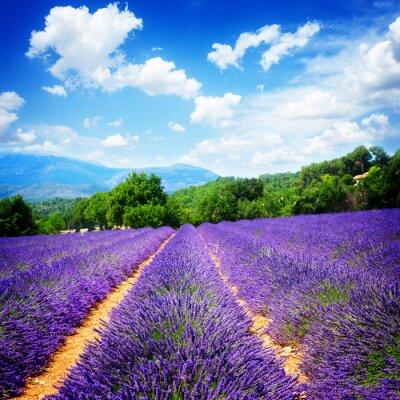 Fototapeta Lavender pola