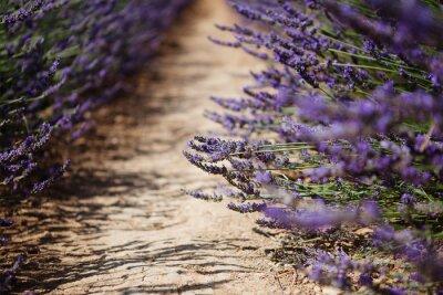 Fototapeta Lawenda Pola kwiatów kwitnący w Prowansji, Francja