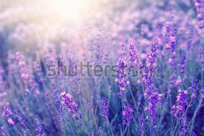 Fototapeta Lawendowy krzaka zbliżenie na zmierzchu. Zachód słońca lśnią fioletowe kwiaty lawendy. Krzaki na środku obrazu i światło słoneczne po lewej. Prowansalski region Francji.