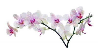 Fototapeta lekki kolor kwiat orchidei w różowe plamy na białym