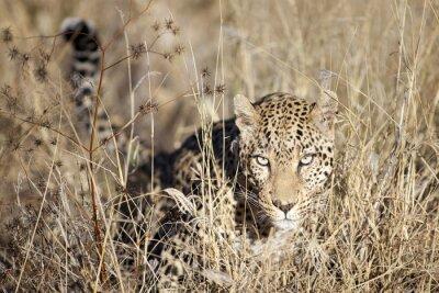 Fototapeta Leopard poruszania się bushveld