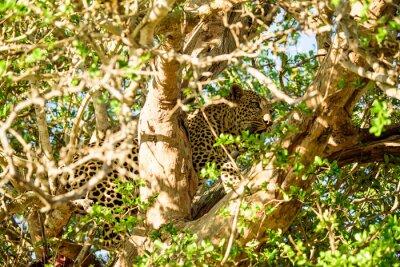 Fototapeta Leopard ukrywanie na drzewie