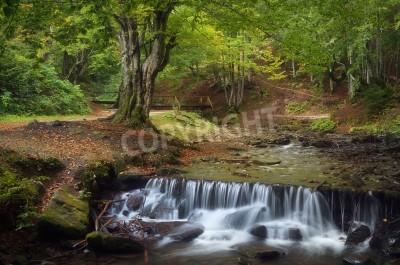 Fototapeta Letni krajobraz z pięknym bukowym lesie Górski potok z kaskadami Karpaty, Ukraina, Europa