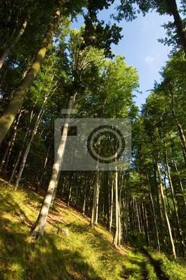 Fototapeta Letni las bukowy - patrzeć