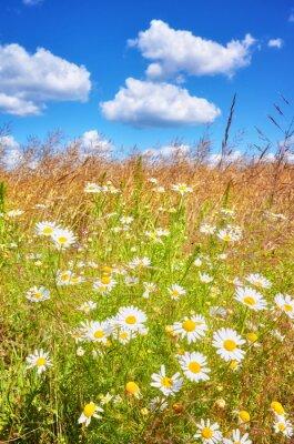 Fototapeta Letnia łąka, płytkiej głębi ostrości.