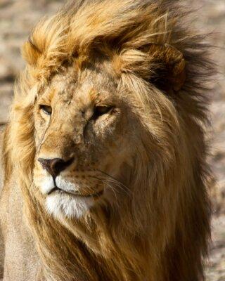 Fototapeta Lew w Afryce