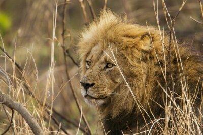 Fototapeta Lew w Park Narodowy Krugera