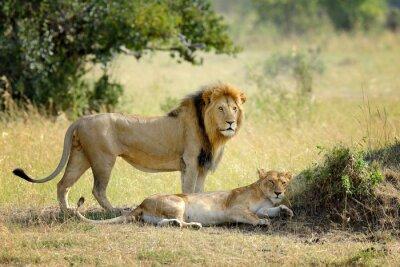 Fototapeta Lew w parku narodowego Kenii, w Afryce