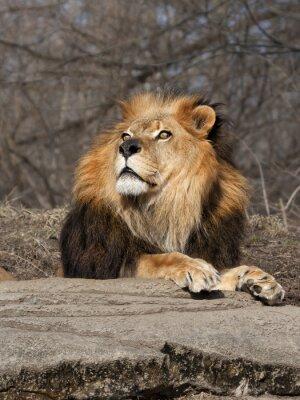 Fototapeta Lion Patrząc na niebo