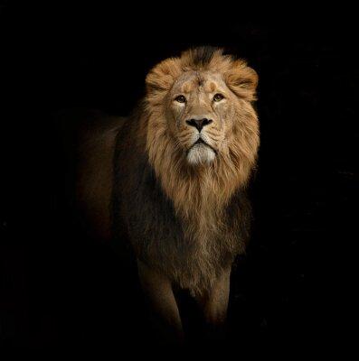 Fototapeta lion portrait on black