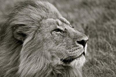 Fototapeta Lion spoglądając na sawannie