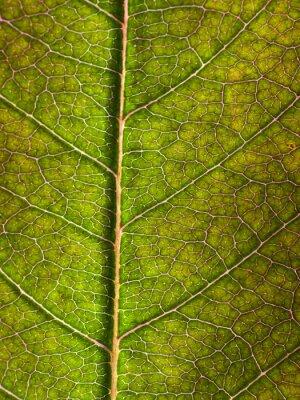 Fototapeta liść makro w tle