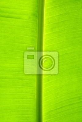 liść palmy bananów